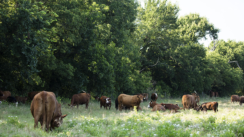 Increase Cattle Comfort with These Four Grazing Tips