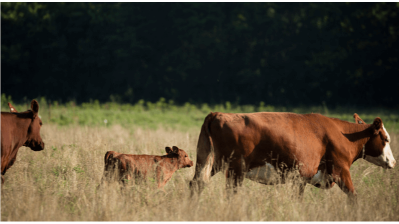 Beef Heifer Mastitis: How Much Do You Know?