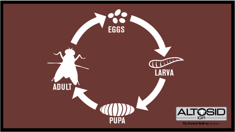 The life cycle of a fly from eggs to adult